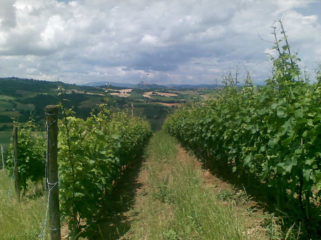 Montelparo (FM) Pecorino incrocio bruni (verdicchio/Sauvignon)
